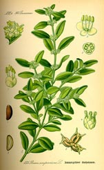 000_illustration_buxus_sempervirens.jpg